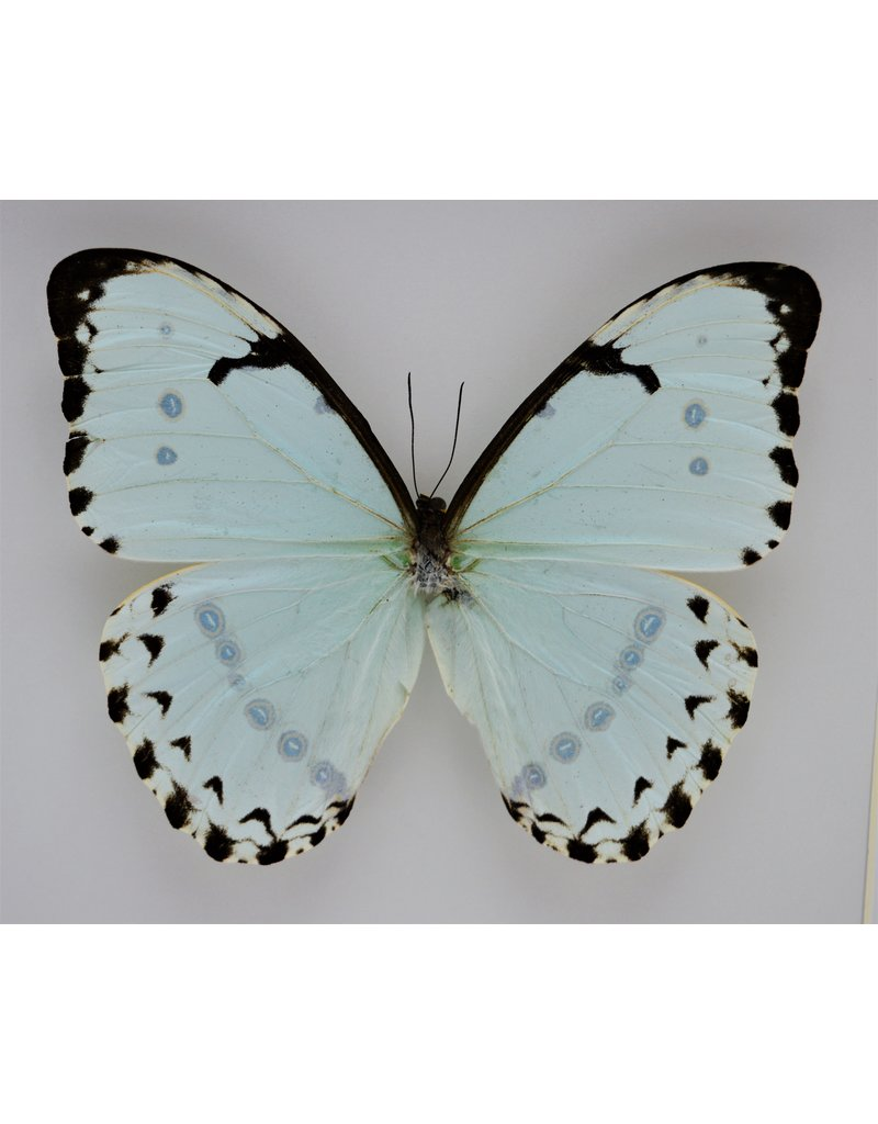 Nature Deco Morpho Catenarius in luxury 3D frame 22 x 22cm
