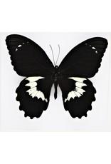 Nature Deco Papilio Gambrisius Colossus in luxe 3D lijst 22 x 22cm