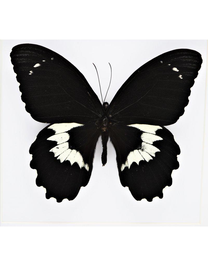 Nature Deco Papilio Gambrisius Colossus in luxury 3D frame 22 x 22cm