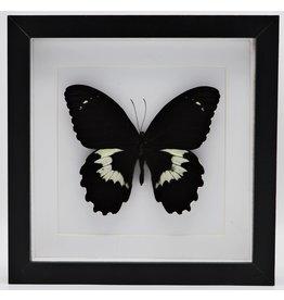 Nature Deco Papilio Gambrisius Colossus in luxe 3D lijst