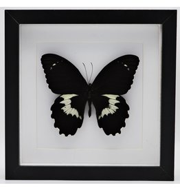 Nature Deco Papilio Gambrisius Colossus in luxury 3D frame