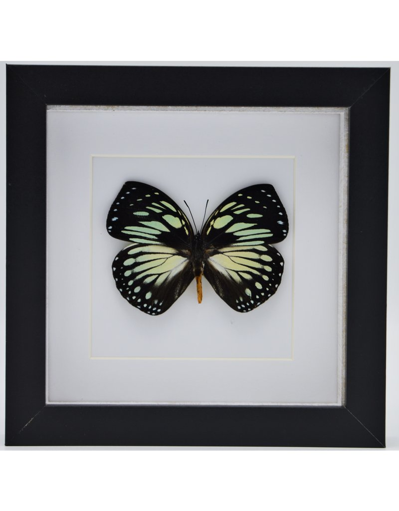 Nature Deco Charaxes Euxanthe Crossleyi in luxury 3D frame 17 x 17cm
