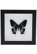 Nature Deco Alcides Oronotes in luxury 3D frame 17 x 17cm