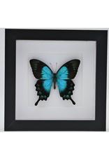 Nature Deco Papilio Lorquinianus in luxury 3D frame  17 x 17cm