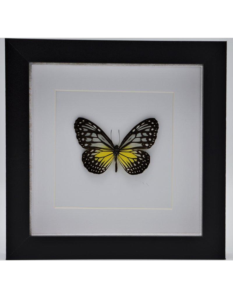 Nature Deco Parantica Aspasia in luxury 3D frame 17 x 17cm
