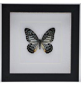 Nature Deco Graphium Delessertii  bovenkant in luxe 3D lijst