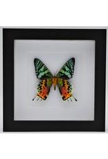 Nature Deco Urania Ripheus underside in luxury 3D frame 17 x 17cm