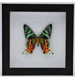 Nature Deco Urania Ripheus onderkant in luxe 3D lijst