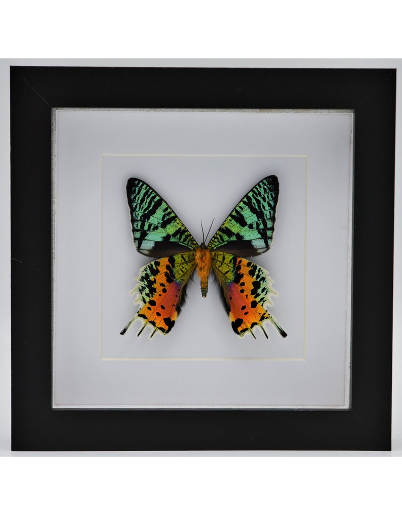 Nature Deco Urania Ripheus onderkant in luxe 3D lijst 17 x 17cm