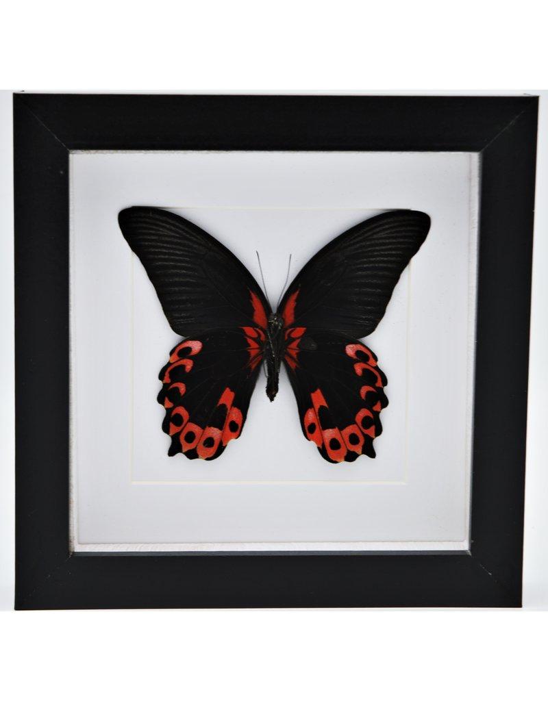 Nature Deco Papilio Rumanzovia in luxe 3D lijst 17 x 17cm