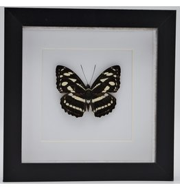 Nature Deco Athyma Nefte Subrata in luxe 3D lijst
