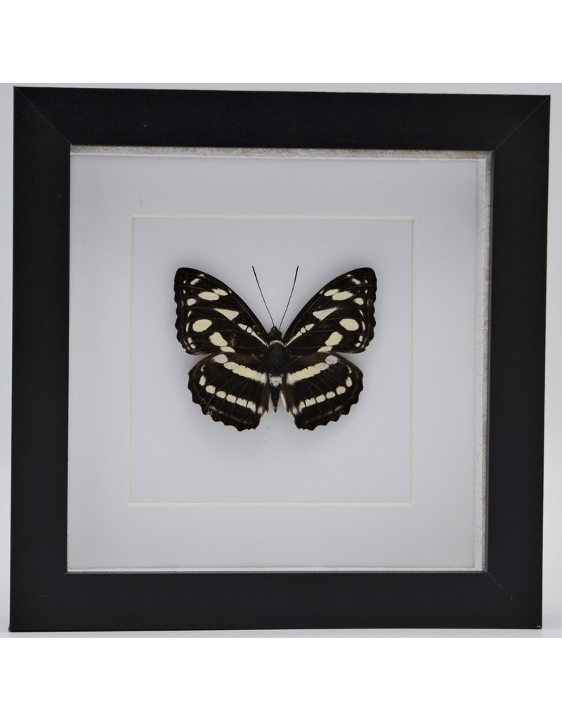 Nature Deco Athyma Nefte Subrata in luxury 3D frame 17 x 17cm