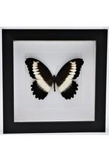 Nature Deco Papilio Mechowianus in luxury 3D frame 17 x 17cm