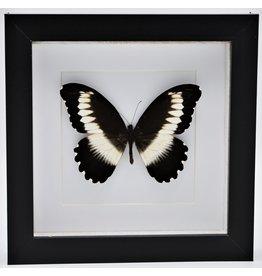 Nature Deco Papilio Mechowianus in luxe 3D lijst