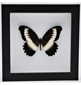 Nature Deco Papilio Mechowianus in luxury 3D frame