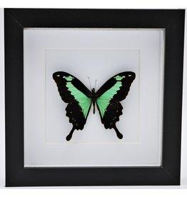 Nature Deco Papilio Phorcas in luxe 3D lijst