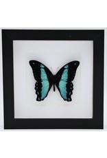 Nature Deco Papilio Bromius in luxe 3D lijst 17 x 17cm