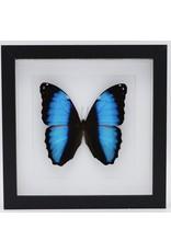 Nature Deco Morpho Deidamia in luxury 3D frame 22 x 22cm