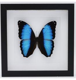 Nature Deco Morpho Deidamia in luxe 3D lijst