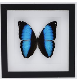Nature Deco Morpho Deidamia Neoptolemus in luxury 3D frame