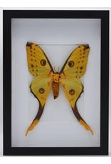 Nature Deco Argema Mittrei in luxury 3D frame 32x 23,5cm (female)