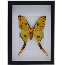 Nature Deco Argema Mittrei in luxury 3D frame