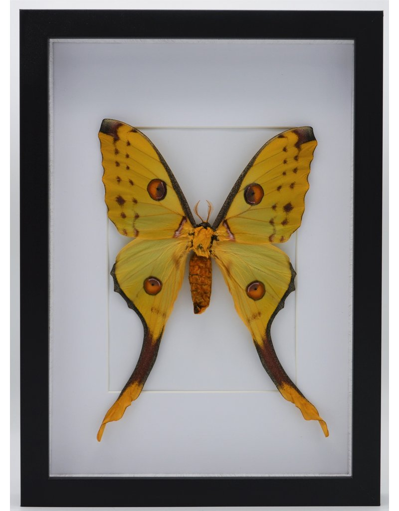 Nature Deco Argema Mittrei in luxe 3D lijst 32 x 23,5cm  (vrouw)