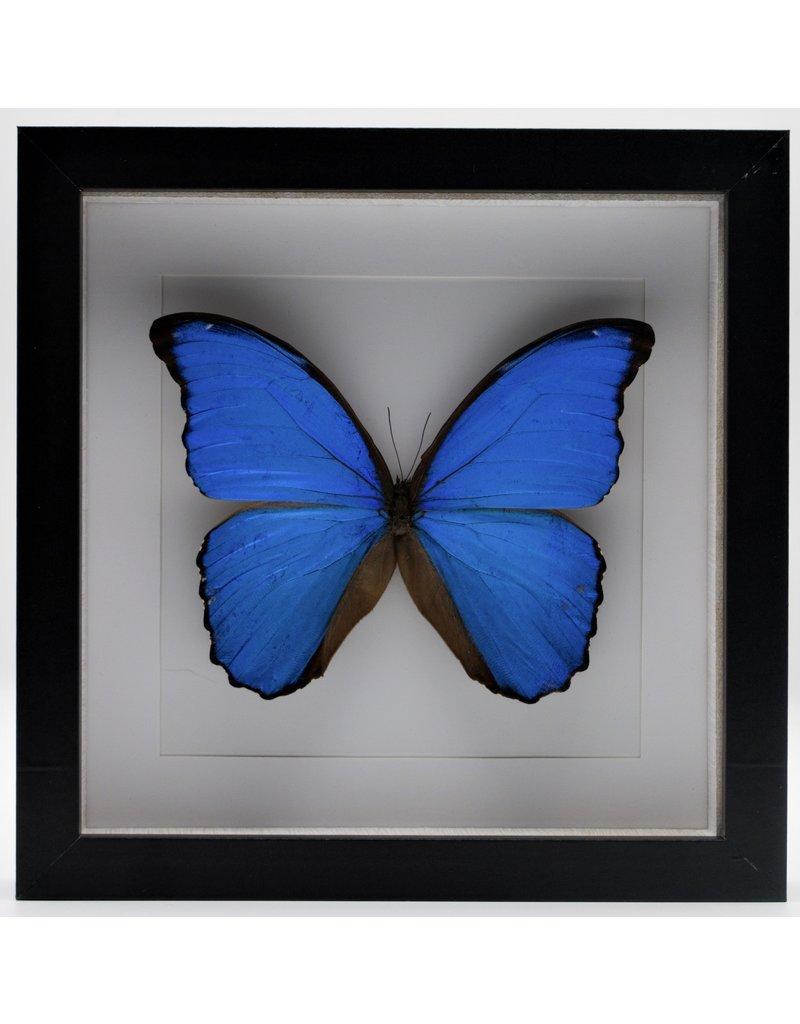 Nature Deco Morpho Didius in luxe 3D lijst