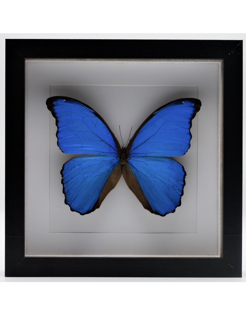 Nature Deco Morpho Didius in luxury 3D frame