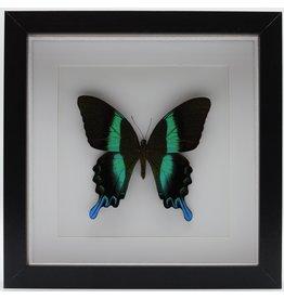Nature Deco Papilio Blumei in luxe 3D lijst