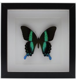 Nature Deco Papilio Blumei in luxury 3D frame