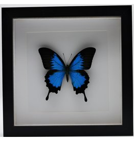 Nature Deco Papilio Ulysess in luxe 3D lijst
