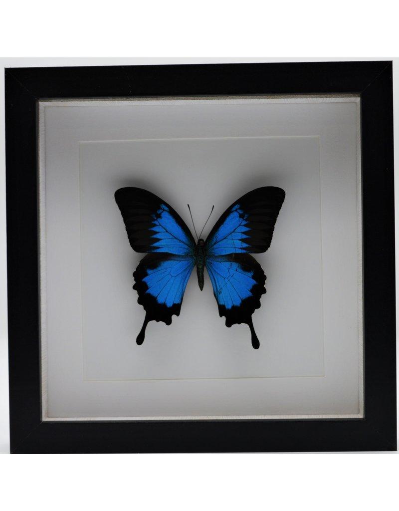 Nature Deco Papilio Ulysess in luxe 3D lijst 22 x 22cm