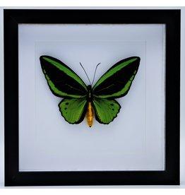 Nature Deco Ornithoptera Priamus Poseidon (man) in luxe 3D lijst