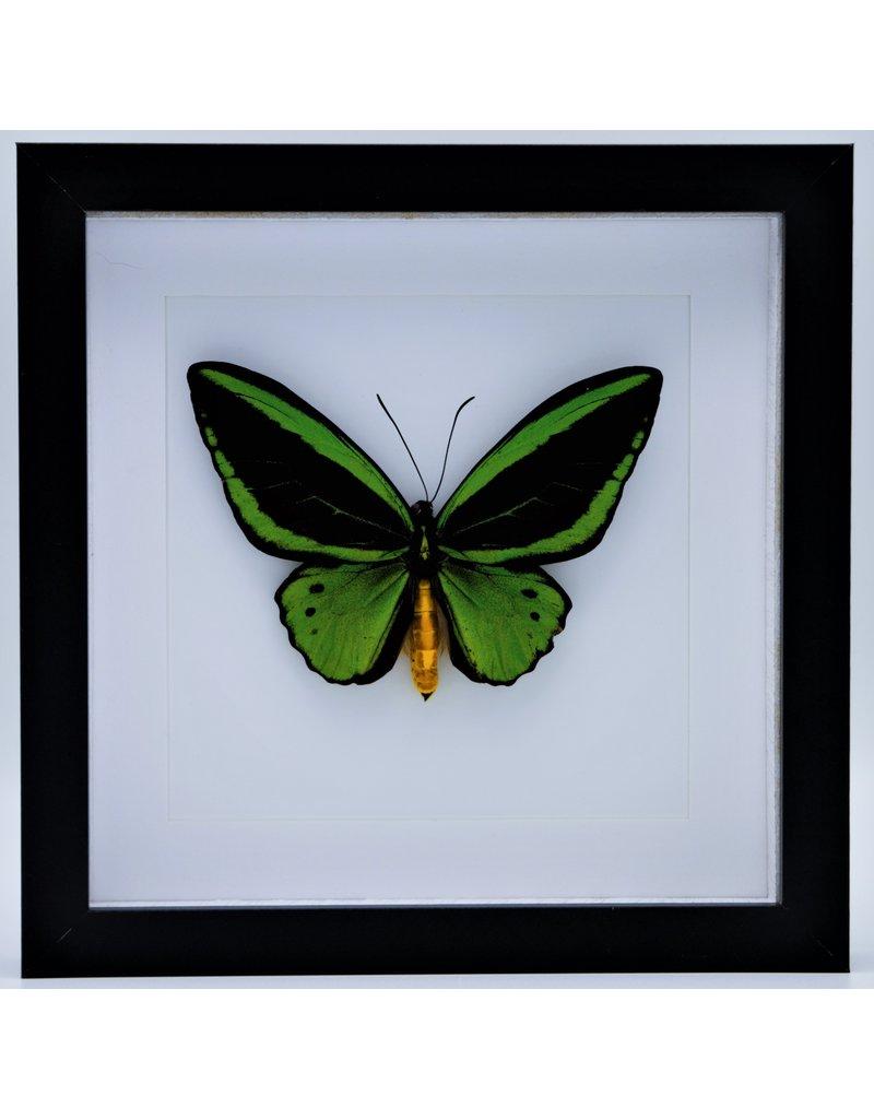 Nature Deco Ornithoptera Priamus Poseidon (man) in luxe 3D lijst 22 x 22 cm