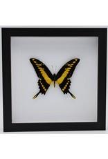 Nature Deco Papilio Thoas in luxury 3D frame 22 x 22cm