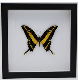 Nature Deco Papilio Thoas in luxury 3D frame