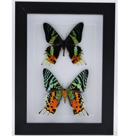 Nature Deco Urania Ripheus double in luxury 3D frame