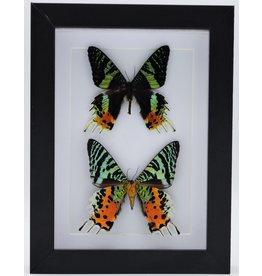 Nature Deco Urania Ripheus dubbel in luxe 3D lijst