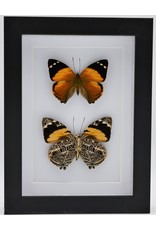Nature Deco Smyrna Blomfildia dubbel in luxe 3D lijst 20,3 x 15,3cm