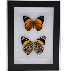 Nature Deco Smyrna Blomfildia dubbel in luxe 3D lijst