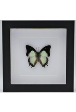 Nature Deco Polyura Athamas in luxury 3D frame 17 x 17cm
