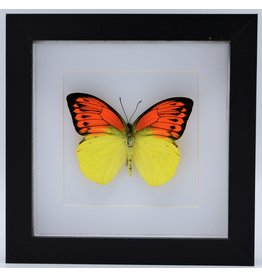 Nature Deco Hebomoia Leucippe in luxe 3D lijst