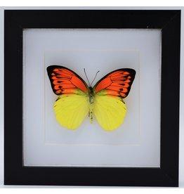 Nature Deco Hebomoia Leucippe in luxury 3D frame