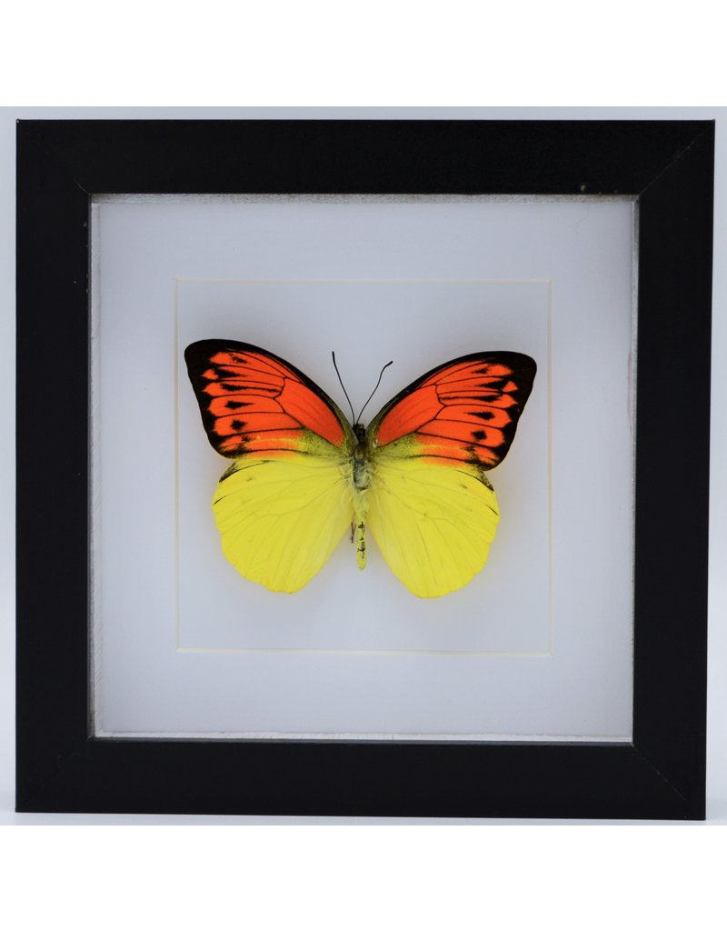 Nature Deco Hebomoia Leucippe Leucippe in luxe 3D lijst 17x17cm