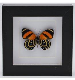 Nature Deco Callicore Cynosura onderkant in luxe 3D lijst