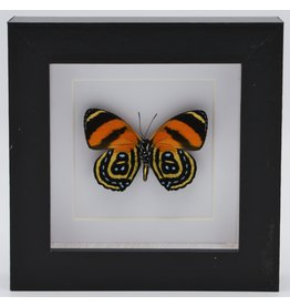 Nature Deco Callicore Cynosura underside in luxury 3D frame