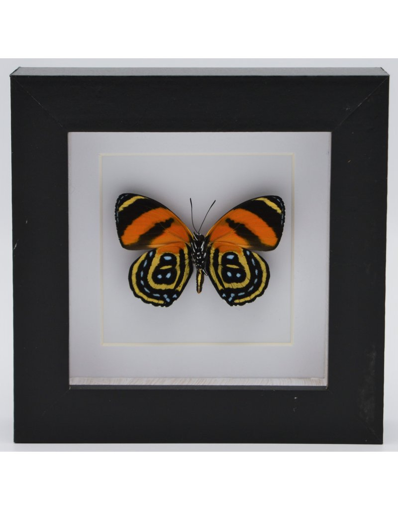 Nature Deco Callicore Cynosura onderkant  in luxe 3D lijst 12 x 12cm