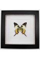 Nature Deco Graphium antiphates underside in luxury 3D  frame