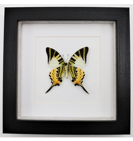Nature Deco Graphium antiphates underside in luxury 3D frame